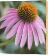 Dreamy Coneflower Wood Print