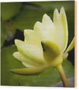 Dreamy Water Lilly Wood Print