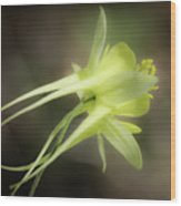 Dreamy Yellow Columbine Wood Print