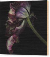 Dried Tulip Wood Print