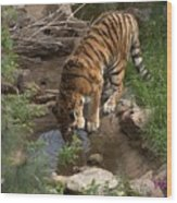 Drinking Tiger Wood Print