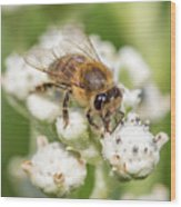 Drinking Up The Nectar, Apis Mellifera Wood Print