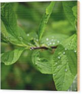 Droplets On Spring Leaves Wood Print