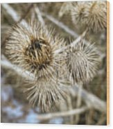 Dry Thistle Buds Wood Print