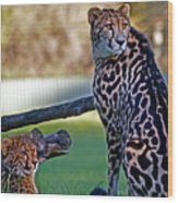 Dubbo Zoo Queen - King Cheetah And Cub Wood Print