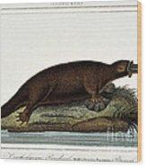 Duck-billed Platypus Ornithorhynchus Wood Print