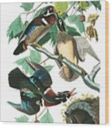 Lummer Or Wood Duck Wood Print