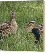 Duck Meeting At Frankenmuth Wood Print