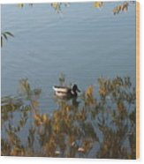 Duck On Golden Pond Wood Print