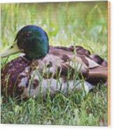 Duck Portrait Wood Print