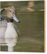 Duck Swimming, Front Portrait. Wood Print