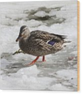 Duck Walking On Thin Ice Wood Print