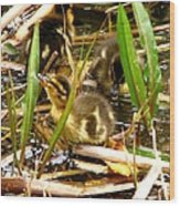 Ducklings 1 Wood Print