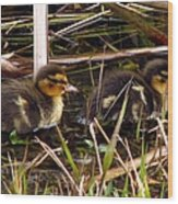 Ducklings 2 Wood Print