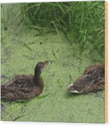 Ducks In Pond Wood Print
