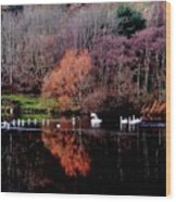 Duddingston Swan 17 Wood Print