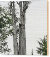 Duncan Memorial Big Cedar Tree - Olympic National Park Wa Wood Print by Christine Till
