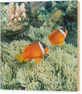 Dusky Clownfish Wood Print