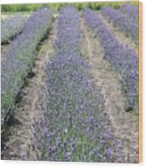 Dutch Lavender Field Wood Print