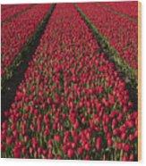 Dutch Tulips Second Shoot Of 2015 Part 1 Wood Print