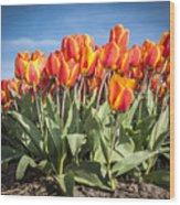 Dutch Tulips Second Shoot Of 2015 Part 3 Wood Print