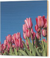 Dutch Tulips Second Shoot Of 2015 Part 8 Wood Print