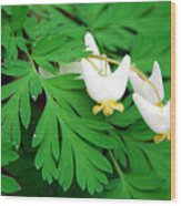 Dutchman's Breeches Wood Print