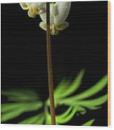Dutchman's Breeches Narrow Format Wood Print