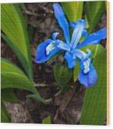 Dwarf Iris Wood Print
