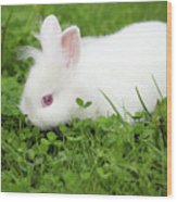 Dwarf White Bunny Spring Scene Wood Print