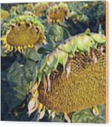 Dying Sunflowers In Field Wood Print