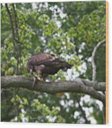 Eagle Eating A Fish Wood Print