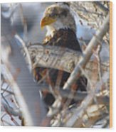 Eagle In A Tree Wood Print