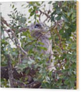 Eagle Owl Chick Wood Print