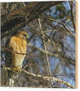 Early Morning Still Hunting  Coopers Hawk Art Wood Print