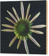 Early Stage Of Cone Flower Bloom Wood Print