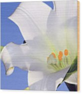Easter Lily Back Lit By The Sun  Wood Print