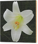 Easter Lily With Black Background Wood Print