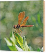 Eastern Amber Wing Dragonfly Wood Print