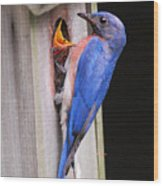 Eastern Bluebird And Chick Wood Print
