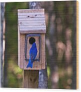 Eastern Bluebird Entering Home Wood Print