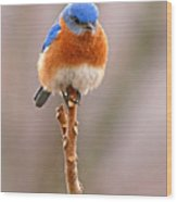 Eastern Bluebird Treetop Perch Wood Print by Max Allen