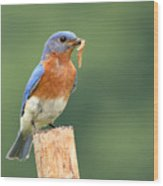 Eastern Bluebird With Caterpillar Lunch Wood Print