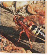 Eastern Cicada Killer Wasp Wood Print