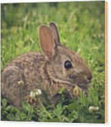 Eastern Cottontail Wood Print