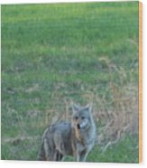 Eastern Coyote In Grass Wood Print