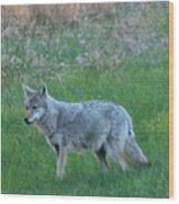 Eastern Coyote In Meadow   Wood Print
