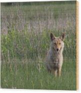 Eastern Coyote Wood Print