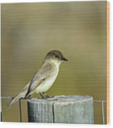 Eastern Phoebe At Falcon State Park Of Texas Wood Print
