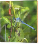 Eastern Pondhawk Dragonfly Wood Print